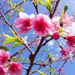 沖縄に春到来!「今帰仁グスク桜まつり」で桜を見物