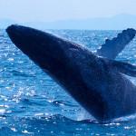 神秘的なザトウクジラに感動(そして船酔い..)。ホエールウォッチングツアーに参加してきました!