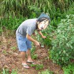 【瀬底島の土地】小さな畑に植えたモロヘイヤが成長しまくり!初収穫してきました